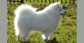 photo of American Eskimo Dog