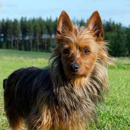 photo of an Australian Terrier standing outdoors