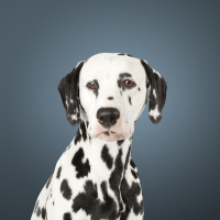 Photo of a Dalmatian