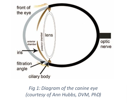 Diagram of the canine eye