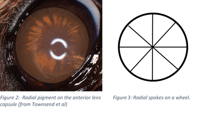 Photo of a dog lens demonstrating radial pigment.