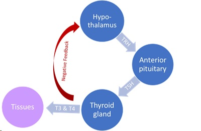 graphic of the hypothalamic-pituitary-thyroid axis